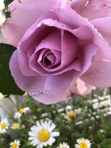 【バラ】ローズシナクティフの特徴とは?気になる色合い・香り・トゲは?