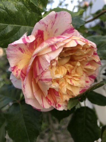 【バラ】エドゥアール・マネの特徴とは?気になる色合い・香り・トゲは?