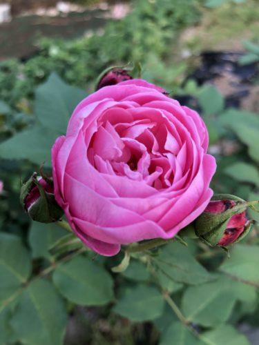 【バラ】ラ レーヌ ビクトリアの特徴とは?気になる色合い・香り・トゲは?