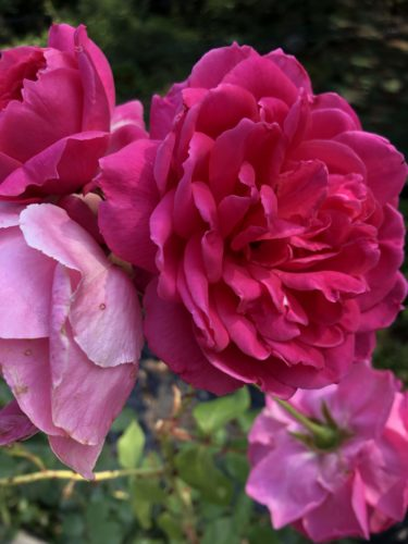【バラ】パレードの特徴とは?気になる色合い・香り・トゲは?