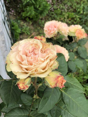 【バラ】エメラルド アイルの特徴とは?気になる色合い・香り・トゲは?
