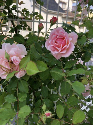 【バラ】フェリシアの特徴とは?気になる色合い・香り・トゲは?