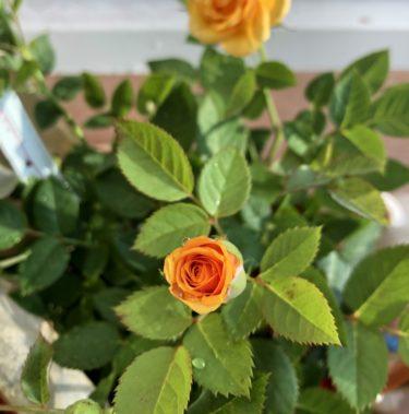 【バラ】キョー(ミニバラ)の特徴とは?気になる色合い・香り・トゲは?