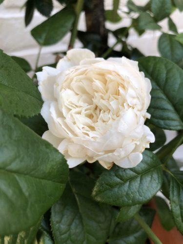 【バラ】レディ ユーナの特徴とは?気になる色合い・香り・トゲは?