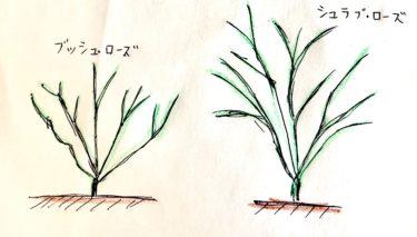 バラの樹形の違いは?樹形の特性によって大きく変わります。