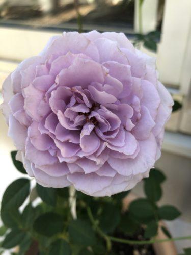【青薔薇】ラピスラズリの色合い・香りは?日陰はあまり得意ではないです。
