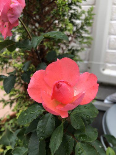 【バラ】ジャルダン・ドゥ・フランスの特徴とは?気になる色合い・香り・トゲは?
