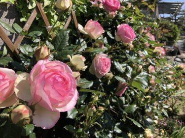 【バラ】ピエール ドゥ ロンサールの特徴とは?気になる色合い・香り・トゲは?